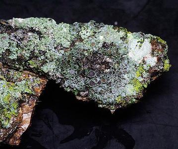 Foliose lichen with ascomata on willow bark