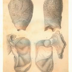 1-2-Propithecus edwardsii; 3-4-Propithecus verreauxii