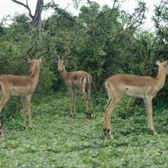 Three Impala at Chobe National Park