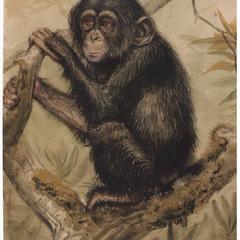 Juvenile Chimpanzee Print