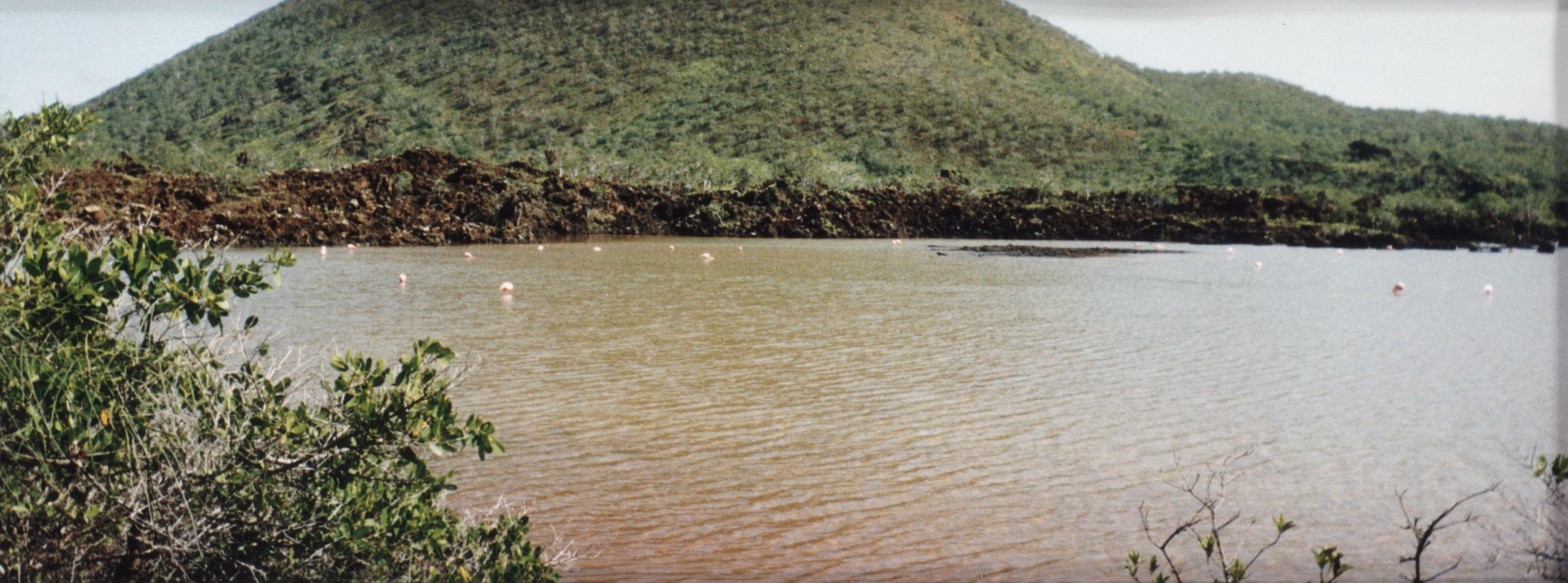 Greater Flamingos (Phoenicopterus ruber) in Flamingo Lagoon