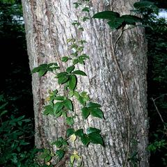 Toxicodendron radicans with virginia creeper