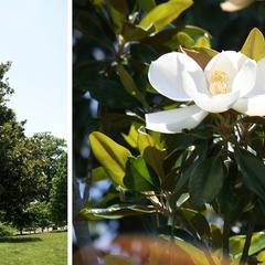 Magnolia grandiflora - tree and detail of a flower