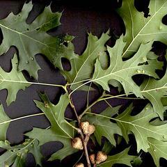 Quercus velutina