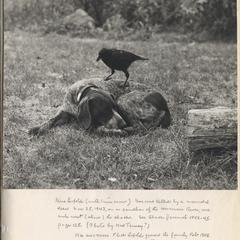 """Eulogy for """"Gus"""" (photo of dog with tame crow and caption written by AL), late 1943-early 1944"""