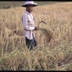 Cutting rice in fields 4, 5