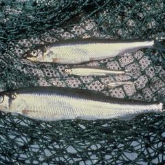 Image of rainbow smelt
