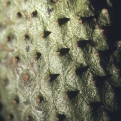 Close-up of a soursop fruit in market, Guatemala City