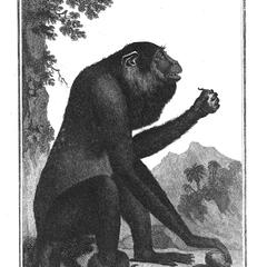 L'Alouate (Alouatta-Howler monkey)