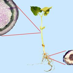 Composite of bean seedling with cross sections of stem and root
