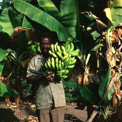 Man Holding Bananas Just Harvested