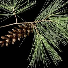 Bough with a mature ovulate cone of white pine