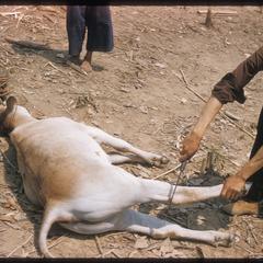 """""""Nyuj Dab"""" (Cow Spirit) ritual, image 07"""