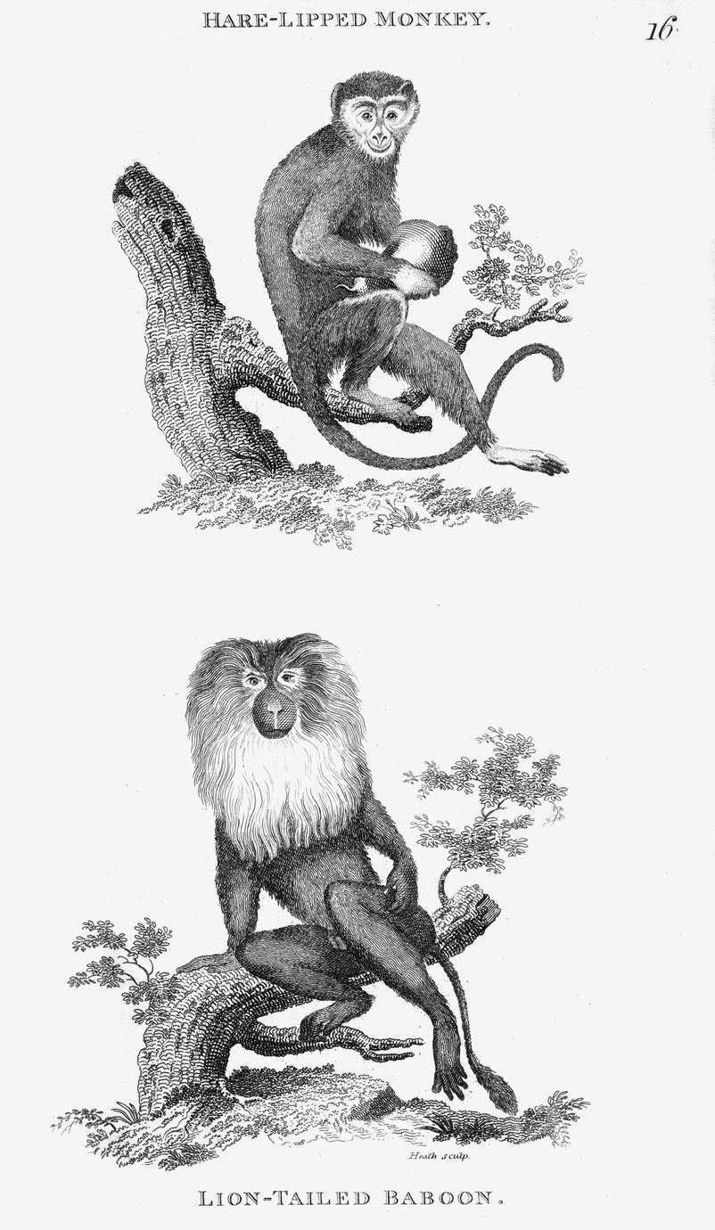 Hare-Lipped Monkey and Lion-Tailed Baboon