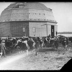 Round barn and dairy cattle