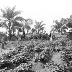 A Sweet Potato Field by the Kuba-Bushong Capital of Nsheng