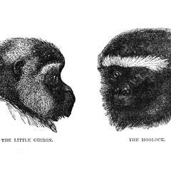 The Little Gibbon and the Hoolock