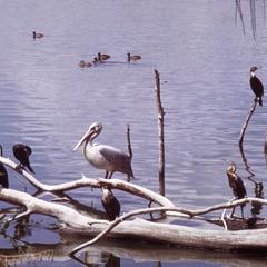 Pelicans, Anhingas, and Cormorants