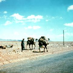 Camels Going East from Erfud on Road to Taouz