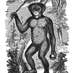 Standing Chimpanzee Print