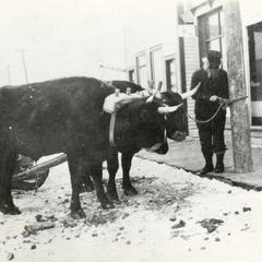 Oxen team for logging