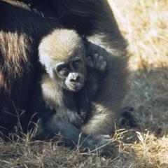 Gorilla gorilla gorilla