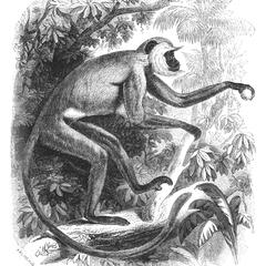 The Entellus Monkey