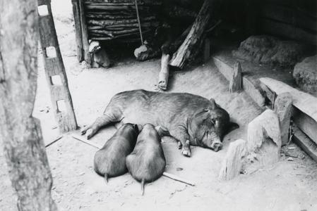 Pigs in a village in the area of the town of Vang Vieng in Vientiane Province