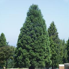Vigerous young tree of Sequoiadendron giganteum
