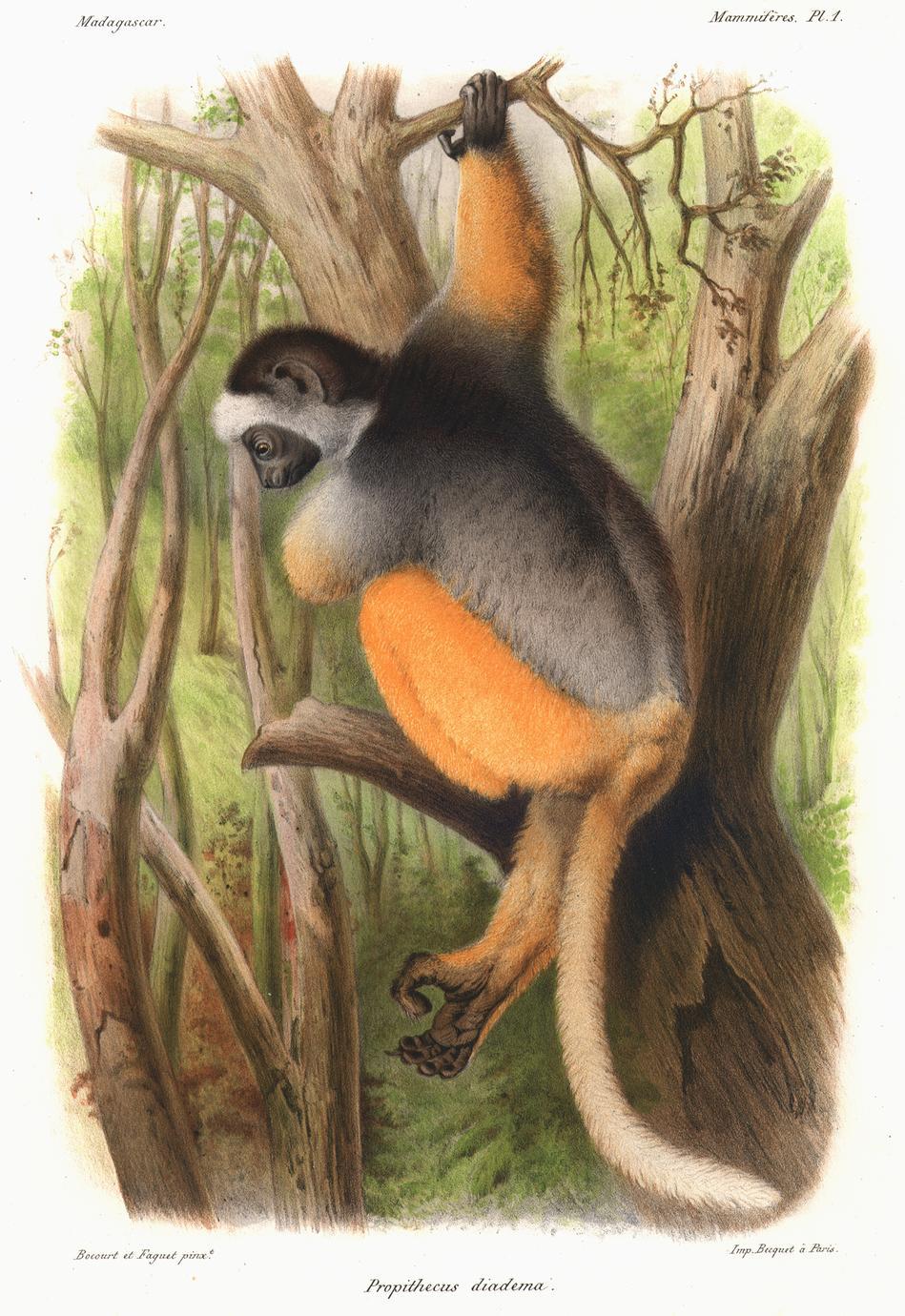 Propithecus diadema