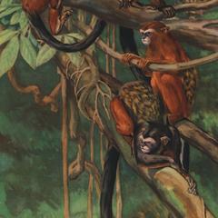 Tamarin nigrifrons nigrifrons (upper left monkey), Tamarin devilli devilli (upper right monkey), Tamarin fuscicollis (juvenille-lower right monkey, adult-lower left monkey)