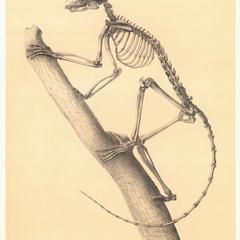 Lemur coronatus