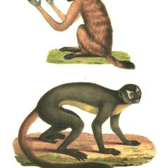 Black-Headed Uakari and Night Monkey Print