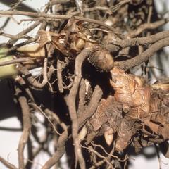 Zea diploperennis roots