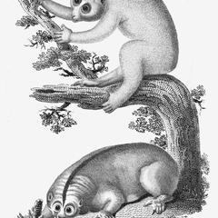 Slow Lemur