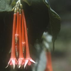 Flowers of a Fuchsia, east of Zacapu
