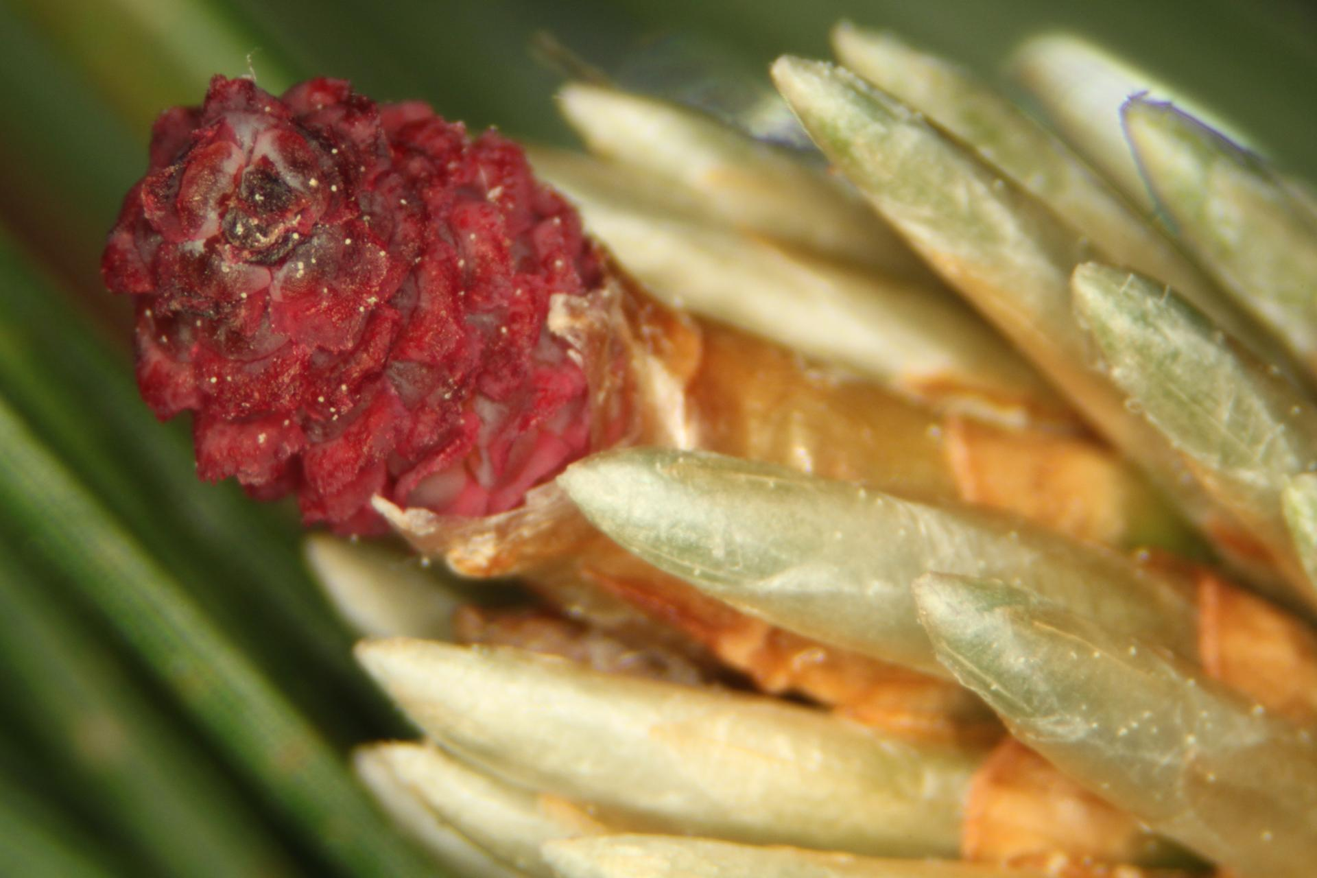 Close up of newly emergent ovulate cone of red pine