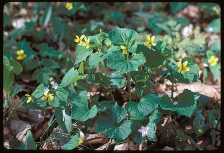 Viola pubescens - variation eriocarpa; Warren's Woods