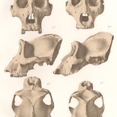 Gorilla and Chimpanzee Skulls Print