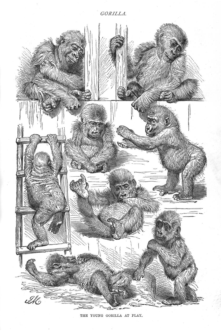 The Young Gorilla at Play