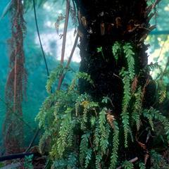 Tmesipteris tannensis plants growing on a tree fern