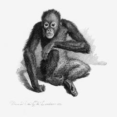 The Orang Outang