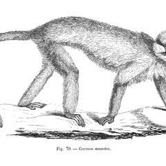 Guenon moustac