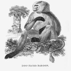 Dog-Faced Baboon