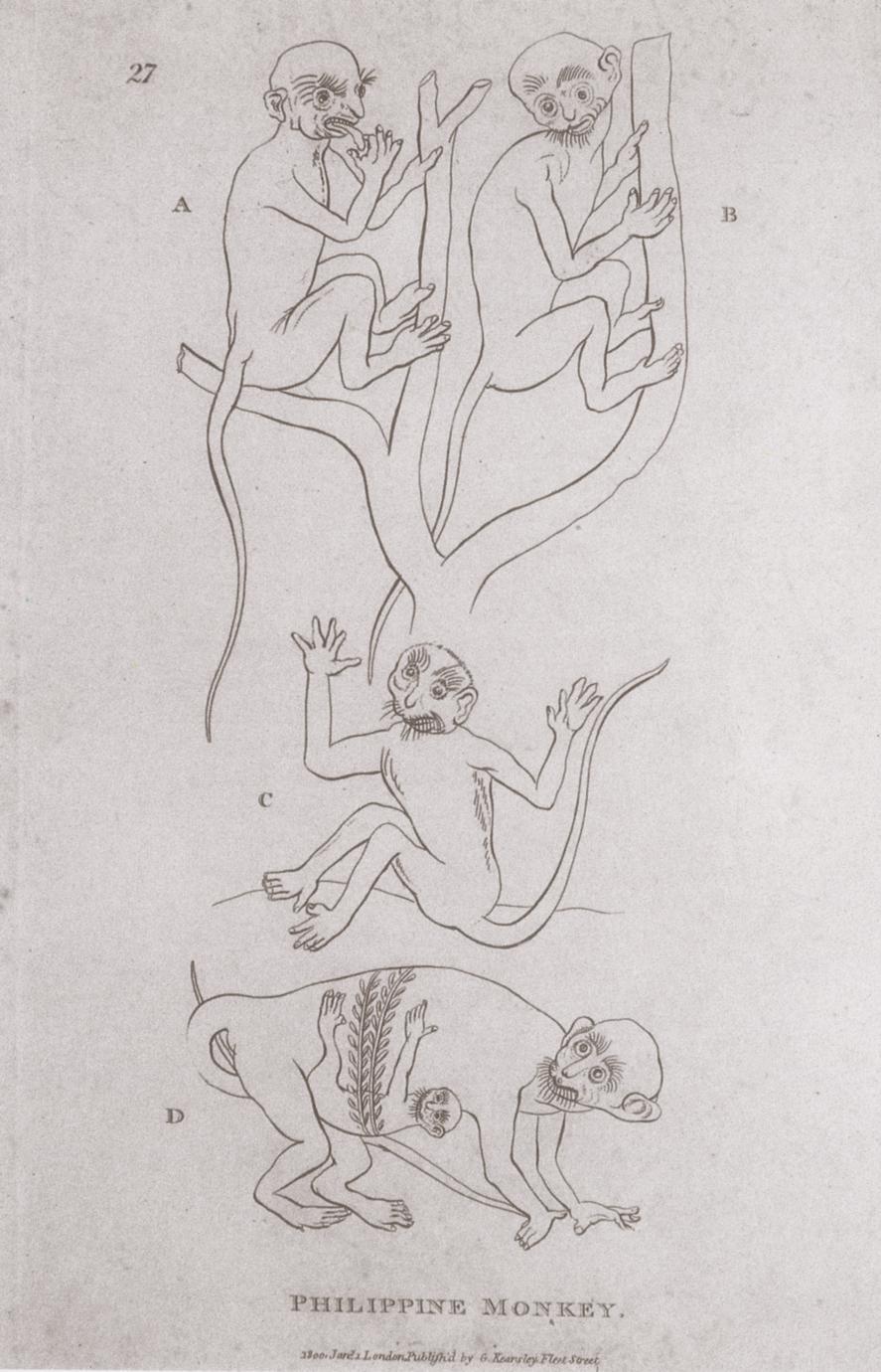 Abbildung 4 : Philippine Monkey-Cercopithecus luzonis (Shaw, 1800)