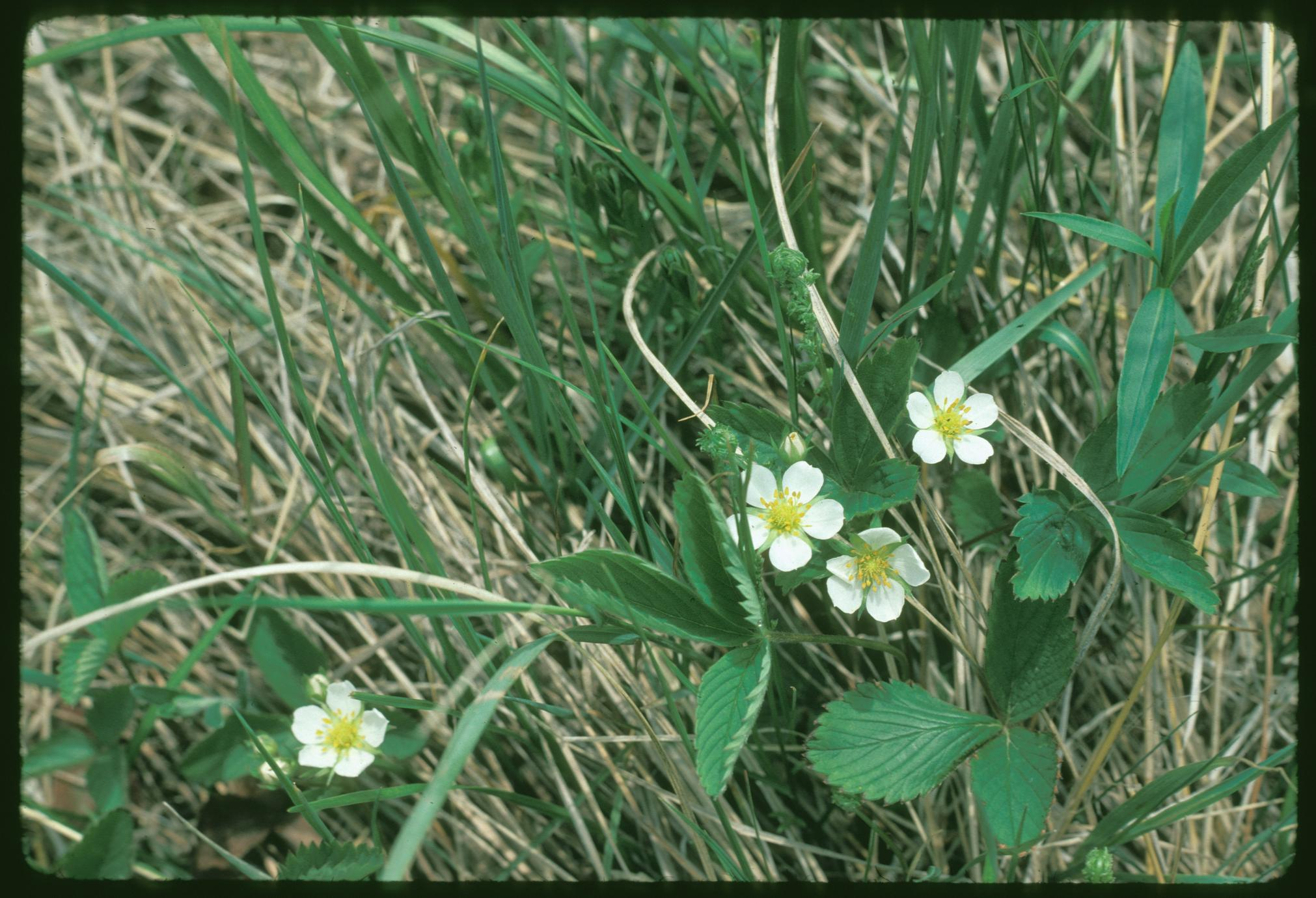 Fragaria virginiana, Chiwaukee Prairie, State National Area