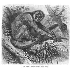 Woolly Spider-Monkey (1/6 nat. size)