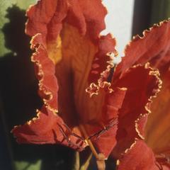 Close-up of flower of Spathodea campanulata, Chiguimula