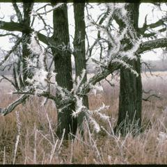 Oaks in Curtis Prairie with frost, University of Wisconsin–Madison Arboretum