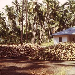 Drying Copra (Coconut)